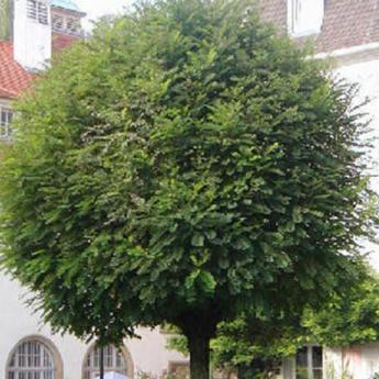 robinia pseudoacacia umbraculifera arbres de moyen et grand d veloppement derly. Black Bedroom Furniture Sets. Home Design Ideas