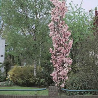 prunus serrulata amanogawa arbres de petit d veloppement derly. Black Bedroom Furniture Sets. Home Design Ideas