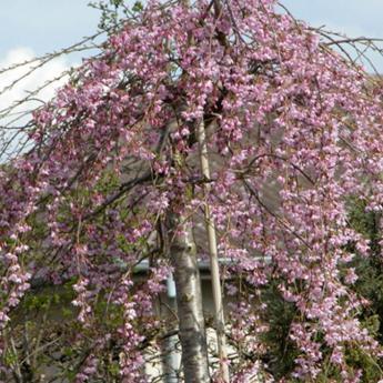 Prunus subhirtella pendula arbres de petit d veloppement for Arbre a petit developpement