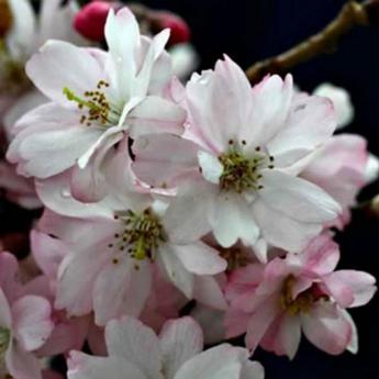 Prunus subhirtella automnalis arbres de petit for Arbre a petit developpement