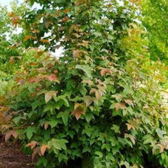 Liquidambar acalycina arbres de petit d veloppement derly for Arbre a petit developpement