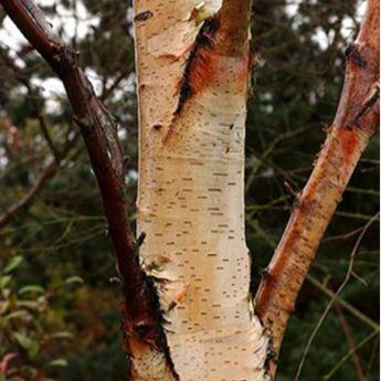 Betula sentinelle d 39 argent arbres de petit d veloppement for Arbre a petit developpement