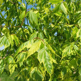 Acer negundo aureomarginatum arbres de petit for Arbre a petit developpement