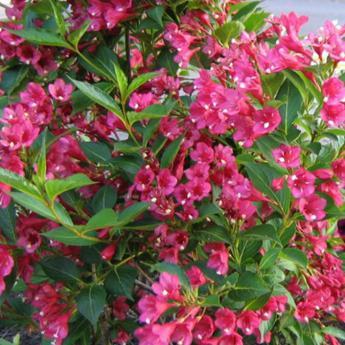 weigelia bristol ruby arbustes caducs derly. Black Bedroom Furniture Sets. Home Design Ideas