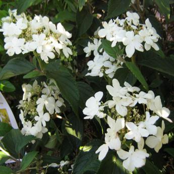 viburnum plicatum watanabe arbustes caducs derly. Black Bedroom Furniture Sets. Home Design Ideas