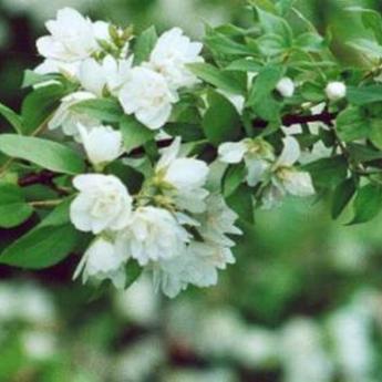 Philadelphus manteau d 39 hermine arbustes caducs derly - Philadelphus manteau d hermine ...