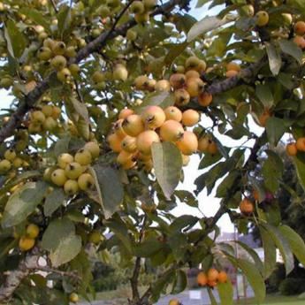 Malus Golden Hornet