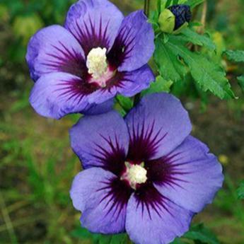 Hibiscus syriacus ultramarine arbustes caducs derly for Entretien hibiscus exterieur