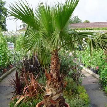 washingtonia filifera palmiers derly. Black Bedroom Furniture Sets. Home Design Ideas