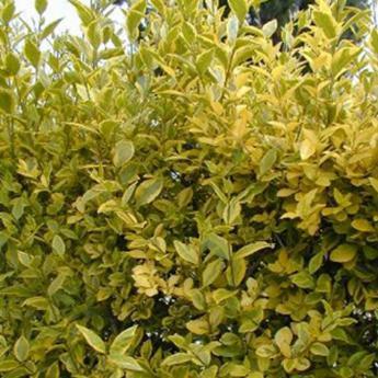 Ligustrum ovalifolium aureum arbustes persistants derly for Tailler yucca exterieur