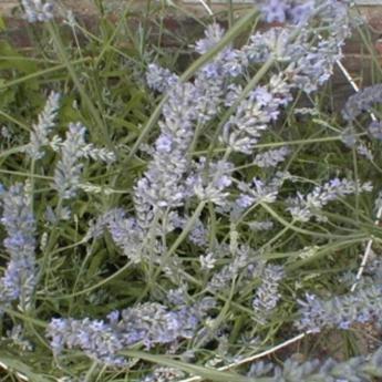Lanvadula x intermedia arbustes persistants derly for Tailler yucca exterieur