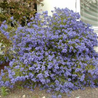 ceanothus concha arbustes persistants derly. Black Bedroom Furniture Sets. Home Design Ideas