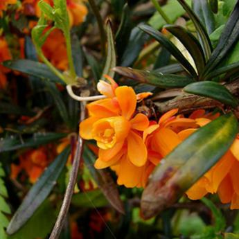 Berberis Linearifolia Orange King