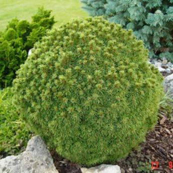 Picea glauca alberta globe conif res nains et de rocaille derly for Arbuste persistant ombre le havre