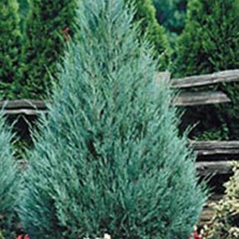 juniperus scopulorum wichita blue conif res nains et de rocaille derly. Black Bedroom Furniture Sets. Home Design Ideas