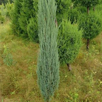 juniperus scopulorum blue arrow conif res nains et de rocaille derly. Black Bedroom Furniture Sets. Home Design Ideas