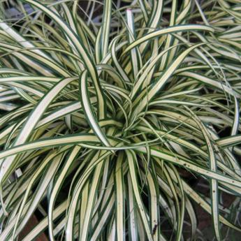 Carex oshimensis ever gold plantes vivaces et gramin es derly - Plante exterieur feuillage persistant ...