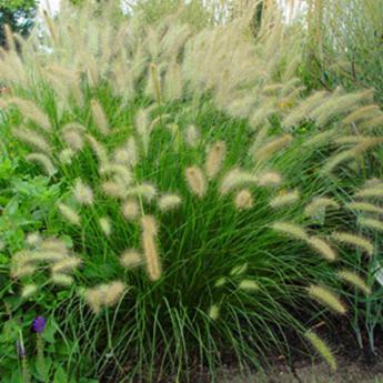 Pennisetum alopecuroides plantes vivaces et gramin es for Plante grasse exterieur vivace