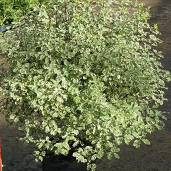 pittosporum tenuifolium variegatum arbustes m diterran ens derly. Black Bedroom Furniture Sets. Home Design Ideas