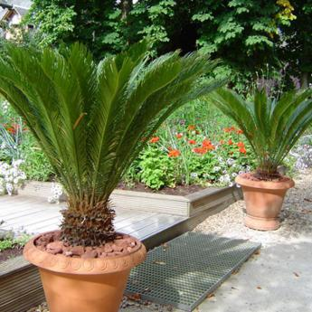 cycas revoluta arbustes m diterran ens derly. Black Bedroom Furniture Sets. Home Design Ideas