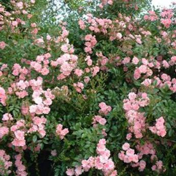 kiki rose rosiers couvres sol derly. Black Bedroom Furniture Sets. Home Design Ideas