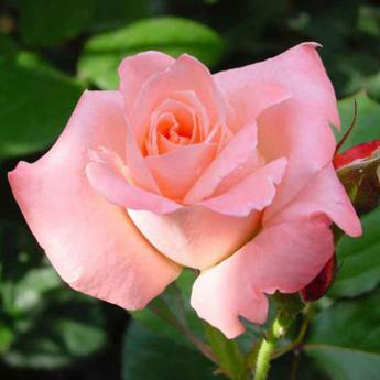 sonia meilland rosiers buissons grandes fleurs derly. Black Bedroom Furniture Sets. Home Design Ideas