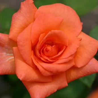 superstar rosiers buissons grandes fleurs derly. Black Bedroom Furniture Sets. Home Design Ideas