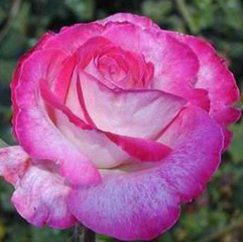 rose gaujard rosiers buissons grandes fleurs derly. Black Bedroom Furniture Sets. Home Design Ideas