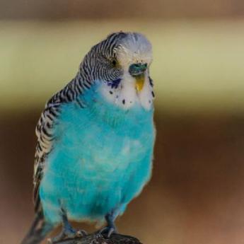 Les Perruches Nos Oiseaux Derly