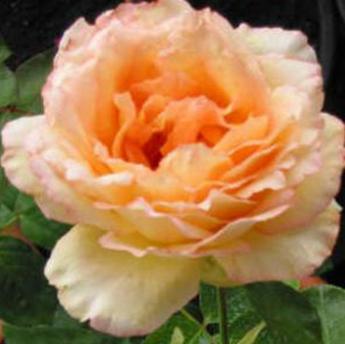 alphonse daudet rosiers buissons grandes fleurs derly. Black Bedroom Furniture Sets. Home Design Ideas