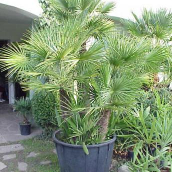 Chamaerops humilis palmiers derly for Entretien palmier exterieur
