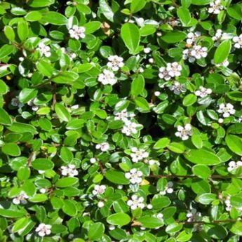 Cotoneaster damneri skogholm arbustes persistants derly for Tailler yucca exterieur