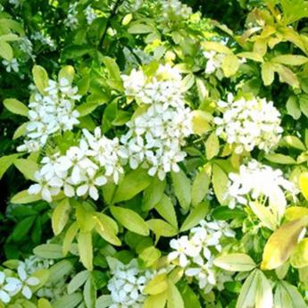 Choisya ternata sundance brica arbustes persistants derly for Tailler yucca exterieur