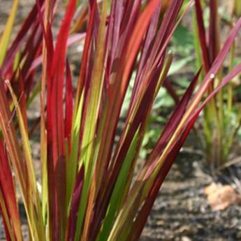 Imperata cylindrica red baron plantes vivaces et for Tailler yucca exterieur