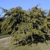 Arbres de petit d veloppement arbres v g taux de for Arbre a petit developpement