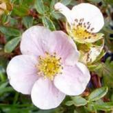 Potentilla Fruticosa Princesse Rose