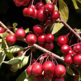 Malus Diable Rouge