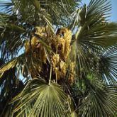 palmiers plantes m diterran ennes v g taux de p pini re plantes d 39 ext rieur. Black Bedroom Furniture Sets. Home Design Ideas