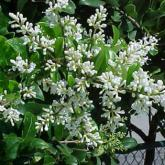 euonymus japonicus bravo arbustes persistants derly. Black Bedroom Furniture Sets. Home Design Ideas