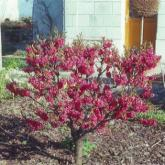 Prunus Persica Red Peachy