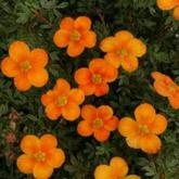Potentilla Fruticosa Hopley's Orange