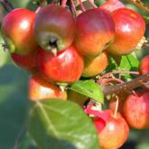 Malus Perpetu Everest