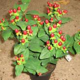 Hypericum Inodrum Magical Red Star