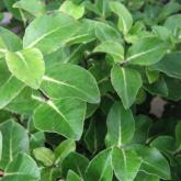 Pittosporum Tenuifolium Margaret Turnbull
