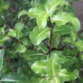Pittosporum Tenuifolium Abbotsburry Gold