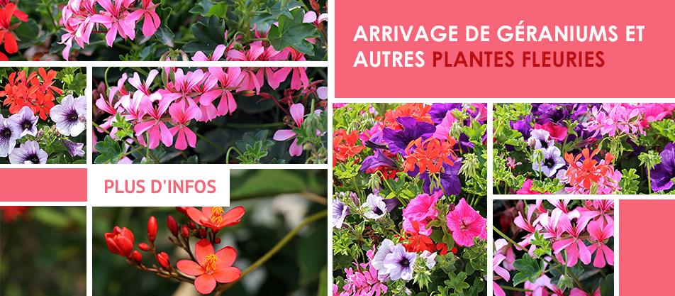 Arrivage de géraniums et autres plantes fleuries