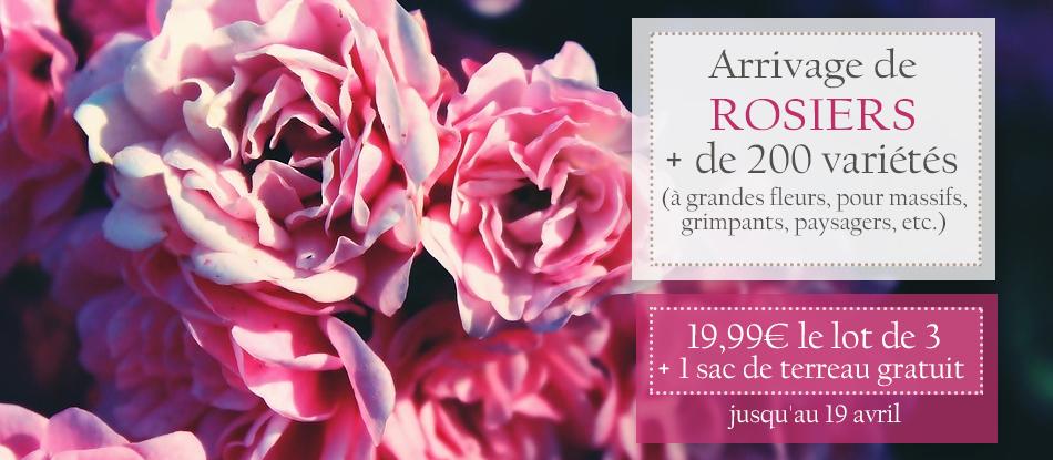 Arrivage & promotions sur les rosiers !