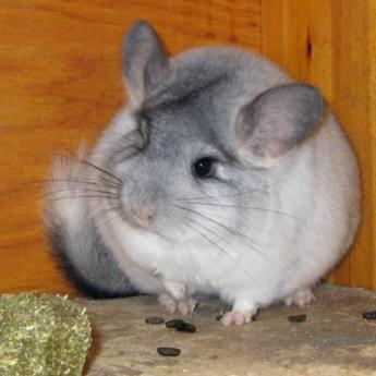 Chinchilla - Derly animalerie